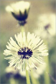 Blume    pusteblume    makrofotografie    dandelion    NATURFOTO    Löwenzahn    Naturfotografie    makro    Pusteblumen    natur    Pflanzen    Makrofotografie