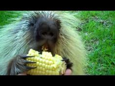 """""""Teddy Bear,"""" the porcupine, doesn't like to share... - YouTube video... It sounds like he's talking!"""