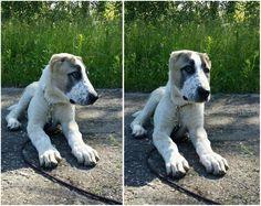 Demír ( Grandson of legendary Karachan) Central Asian Shepherd dog