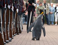 Nils Olav the Penguin inspects the Kings Guard of Norway after being bestowed with a knighthood at Edinburgh Zoo Norwegian Army, Animal Pictures, Funny Pictures, Munchkin Cat, Cats Bus, Baby Penguins, Animal Facts, Warrior Cats, Fun Facts