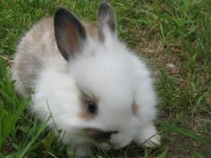 French Angora Bunny, this is what Kassidys Bunny Looks like.