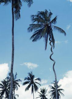 zanzibar lightning cork tree - Google Search