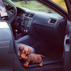 Dachshund Car ride Dachshund puppy