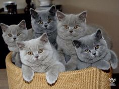 Ideas Cats British Shorthair Grey Russian Blue For 2019 Grey Kitten, Grey Cats, Cute Cats And Kittens, Kittens Cutest, Funny Kittens, I Love Cats, Cool Cats, British Blue Cat, British Shorthair Kittens