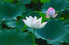 There are many places in Guanghzou to enjoy lotus during summer. In the lake in the east sideof Dongmen Avenue, Guangzhou Uprising Martyrs Cemetery, Baomo Garden, Xianjing Garden and Miaopu Garden in Lotus Hill, Luoyong Garden and East Lake of Haizhu Campus, Sun Yat-sen University are all good choices.
