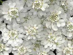 Candytuft – perennial white flower for spring. Regions of your ba… - Perennials My Flower, White Flowers, Flower Power, Beautiful Flowers, Herbaceous Perennials, Sun Perennials, Cactus Y Suculentas, Little Plants, White Gardens