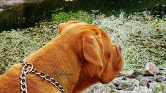 #doguedebordeaux #Doguehills #Doguehillskennel