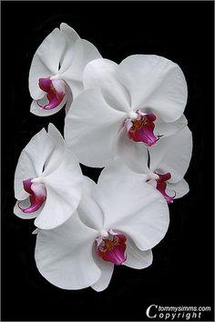 Orchid Symphony