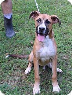 Yardley, PA - Great Dane/Boxer Mix. Meet Hogan, a puppy for adoption. http://www.adoptapet.com/pet/13886383-yardley-pennsylvania-great-dane-mix