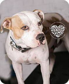 Inglewood, CA - Hound (Unknown Type)/Pit Bull Terrier Mix. Meet Madeline, a dog for adoption. http://www.adoptapet.com/pet/15122641-inglewood-california-hound-unknown-type-mix