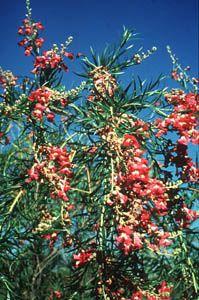 Chilopsis linearis (Cav.) Sweet, Lucretia Hamilton