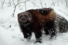 Wolverine - Animal Facts and Information Amur Leopard, Snow Leopard, Wolverine Animal, Carosel Horse, Wolf, Animal Facts, Siberian Tiger, Weird Creatures, Hyena