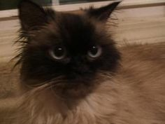 Muffy Is An Adoptable Himalayan Cat In Rochester Hills Mi Purrs