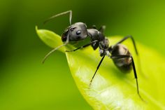 Mrówki należą do rzędu błonkówek (Hymenopera). Oprócz nich do rzędu tego należą znane nam pszczoły i osy.Owady te tworzą charakterystyczne struktury społeczne wraz z podziałem pracy oraz skomplikowanym systemem porozumiewania się.