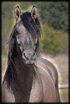 Geronimo Kiger mustang stallion