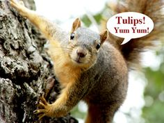 Are squirrels snacking on your tulip bulbs? Or perhaps your bulbs produced foliage, but no flowers last spring. This post addresses problems commonly associated with spring bulbs. Rare Flowers, Beautiful Flowers, Planting Tulips, Tulip Bulbs, Spring Bulbs, Climbing Roses, Container Flowers, Annual Plants, Garden Pests