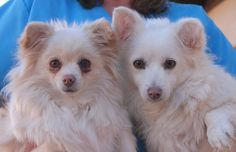 Kaya & Kiana are precious sisters with a magical, lifelong bond and they are ready for adoption at Nevada SPCA (www.nevadaspca.org).  They are pretty Pomeranian & Longhair Chihuahua mixes, 7 years of age and spayed, and good with other sweet dogs.  The girls were adopted from us earlier this year, but returned due to their previous owner's allergies.  Please help Kaya & Kiana find a responsible, lifelong home where they will be cherished.