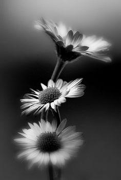 Black &.white photos. Margaridas... ficaram muito bem nesta foto branco&preto. Ficaram belíssimas.