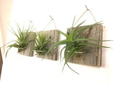 Excited to share the latest addition to my shop: Set of Three SMALL FORM Air Plant and Barn Wood Grab Bag airplants Hanging Air Plants, Indoor Plants, Air Plant Terrarium, Terrariums, Air Plant Display, Support Mural, Cleaning Walls, Wood Plaques, Plant Wall