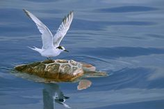 #Tern and #Loggerhead Sea #Turtle, São Miguel Island, Azores, #Portugal. #skerry