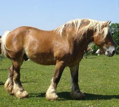 Draft Horse, what awesome power in these animals! ♥