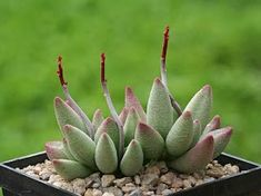 Adromischus marianae f. alveolatus is a small, much-branched, perennial, leaf succulent up to 6 inches cm) tall. The stem is thick. Baby Succulents, Growing Succulents, Planting Succulents, Cactus Planta, Cactus Y Suculentas, Cactus House Plants, Garden Plants, Moss Garden, Garden Plant Stand
