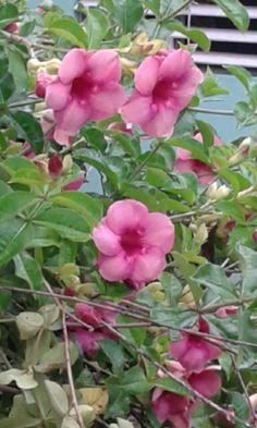Canario rosa