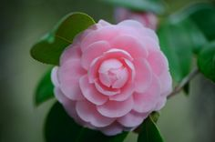 One Perfect Pink Camelia - Flowers Wallpaper ID 1709351 - Desktop Nexus Nature