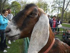 goat =)