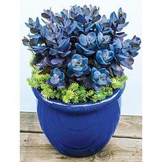 Blue Pearl Sedums - The blue beauty is already quite the stunner, but just wait until you see it produce pink flowers in the late summer. (Blue Pearl Sedums are available at nurseries and garden centers nationwide, as well as Monrovia. Garden Center, Indoor Plants, Plant Life, Plants, Planting Flowers, Succulents, Perennials, Indoor Garden, Container Gardening