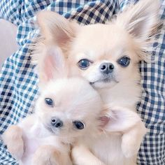 Chihuahua are a very interesting dog breed. Here are 15 things that only a Chihuahua dog parent would understand about their Chihuahua. Cute Chihuahua, Chihuahua Puppies, Cute Dogs And Puppies, Baby Puppies, Baby Dogs, I Love Dogs, Chihuahuas, Teacup Chihuahua, Pet Dogs