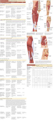 lower body muscle anatomy