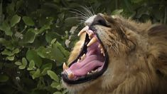 Kruger National Park, National Parks, Male Lion, Lions, Cats, Animals, Lion, Gatos, Animales