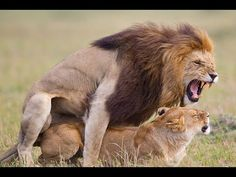 A tiny camera mounted on a robot beetle managed to get a picture of a lion mounted on a she-lion in Africa. Alternate caption: The one lion is sick and the other one is pushing it to the hospital. Wild Animals Attack, Animal Attack, Zoo Animals, Animals And Pets, Cute Animals, Animal Fun, Beautiful Cats, Animals Beautiful, Lion Africa