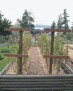 How to Grow Raspberries. A trellis of wooden crossbars and wires supports the canes in rows and keeps the path clear. Cross wires wrapped around the long wires form neat partitions of canes..