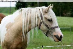 Finnhorse x Tinker mareFiona (Autere x Mavourneen Ciara