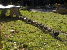 Good article on raising chickens  complete with chicken tunnel !