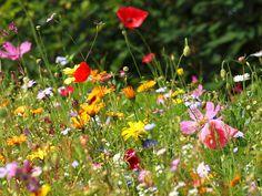 Wildflowers! Wacky Wildflowers by Live Mulch #wildflowers