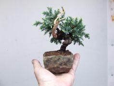 Ronin Bonsai: Another new tree.