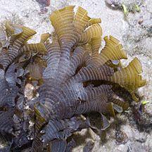 Mermaid's fan seaweed (Padina) on the Shores of Singapore