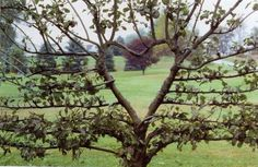"""biodiverseed: """"  The Heart of the Garden I decided to make the double-grafted 'Williams' and 'Beurre Hardy' pear tree into a living sculpture, instead of just allowing it to grow freely. The heart..."""