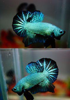 For sale by Banleangbettas on aquabid.com - Fancy blue dragonscale halfmoon plakat betta fish