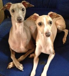 Italian Greyhounds.... I can't believe I'm pinning a dog but I actually want one... THZo cuuuuute