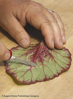 Propagate,Begonias from Leaf Cuttings Video
