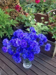 Electric blue cornflowers, 15th July. Still cutting handfuls everyday, joyful