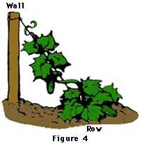 Gardening - Growing Cucumbers
