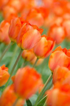 """Tulipa """"Lighting Sun"""", Tulpe, Tulpen"""