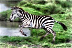 Leaping Zebra by Laurie Rubin