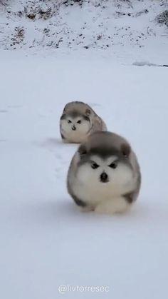 Cute Fluffy Puppies, Cute Husky Puppies, Cute Baby Dogs, Cute Funny Dogs, Cute Funny Animals, Cute Cats, Cute Wild Animals, Cute Little Animals, Animals Beautiful