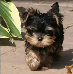"""35 Yorkshire Terrier """"Yorkie"""" Puppies You Will Love Yorkies, Yorkie Puppy, Teacup Yorkie, Cute Puppies, Cute Dogs, Dogs And Puppies, Yorshire Terrier, Yorkshire Terrier Puppies, Rottweiler Puppies"""